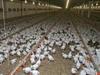 На птицефабрике в Сергиевом Посаде нашли птичий грипп (+ВИДЕО)
